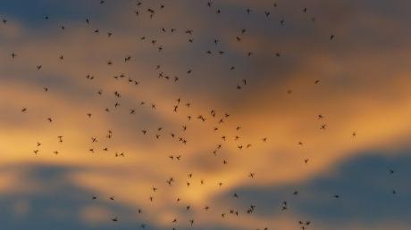 komarci, tretman, suzbijanje, zaprašivanje, Milisav Pajević