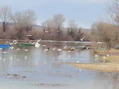 ptice, brojanje ptica, Društvo za zaštitu i proučavanje ptica Srbije, Dunav, Sava, Tisa, Morava, reka, Milisav Pajević