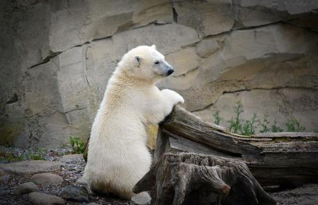 polar-bear-1517514_960_720