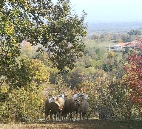 ovce, ovcarstvo,  vlasnik životinje, krave, koze, poljoprivredna gazdinstva,stocarstvo, poljoprivreda, COVID 19, ekonec, ekonec mesecnik, Milisav Pajevic