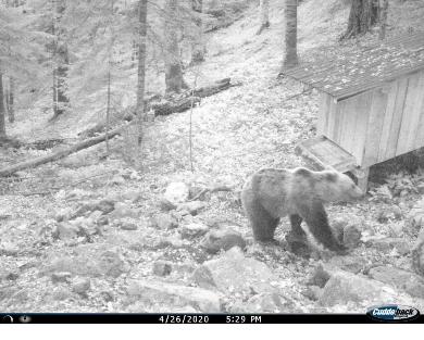 Screenshot_2020-04-30 Mrki medvjed često posjećuje hranilište u NP Biogradska gora – Nacionalni Parkovi Crne Gore