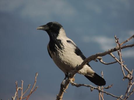 Corvus-cornix-photo, vrane, vrane, gnezda, ekonec, ekonec mesecnik, Milisav Pajević